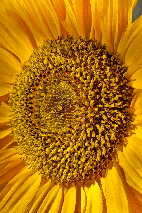 sunflower_Lemmermann